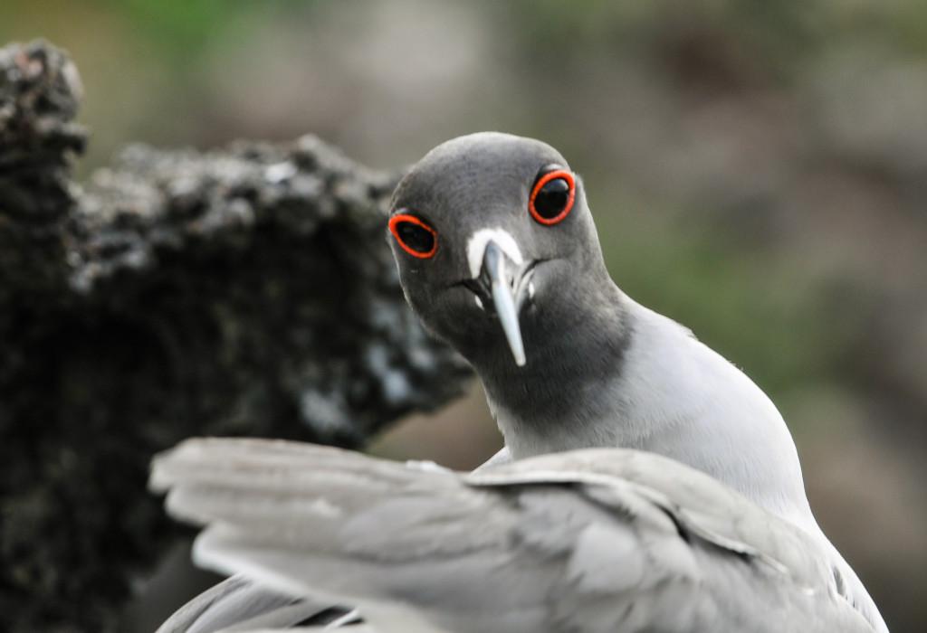 Lava Gull-2020