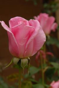 A soft pink rose.