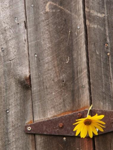 Barn door and yellow flower